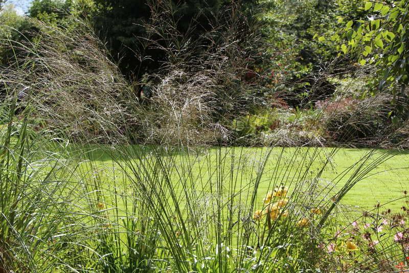 Молиния тростниковая транспарент molinia arundinacea transparent фото