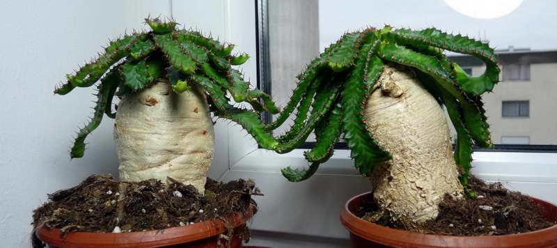 Молочай звездчатый Euphorbia stellata фото