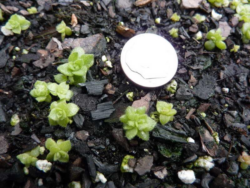 Молодило из семян фото всходов