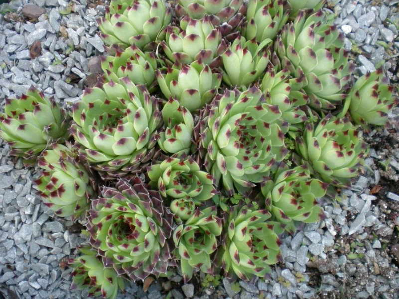 Молодило известковое Sempervivum Calcareum фото
