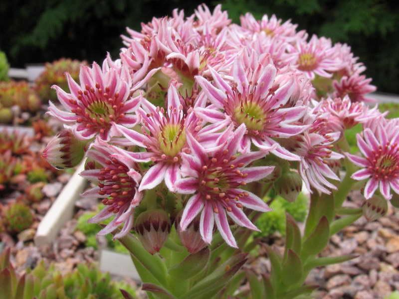 Молодило кавказское Sempervivum caucasicum фото