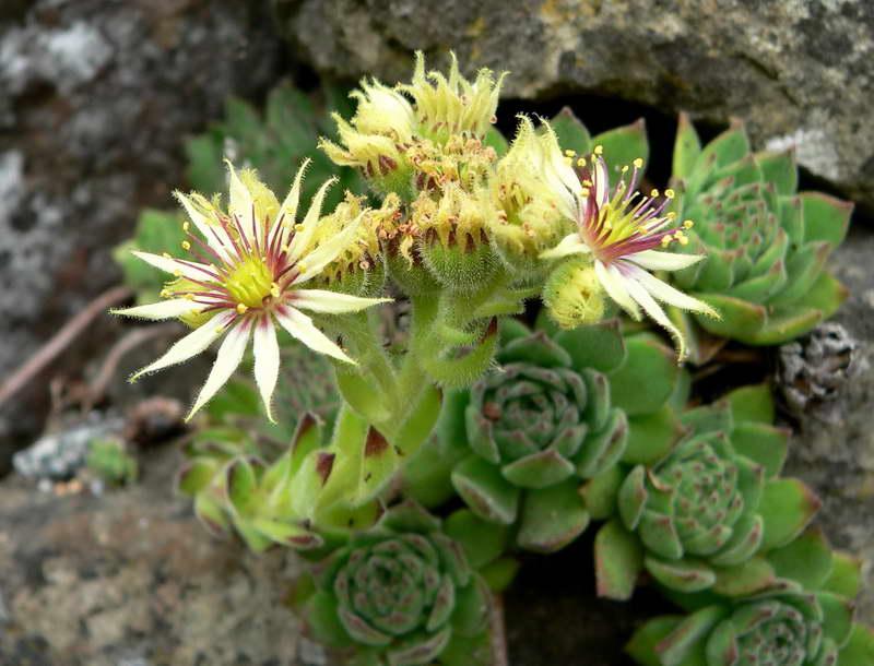 Молодило крупноцветковое Sempervivum grandiflorum фото