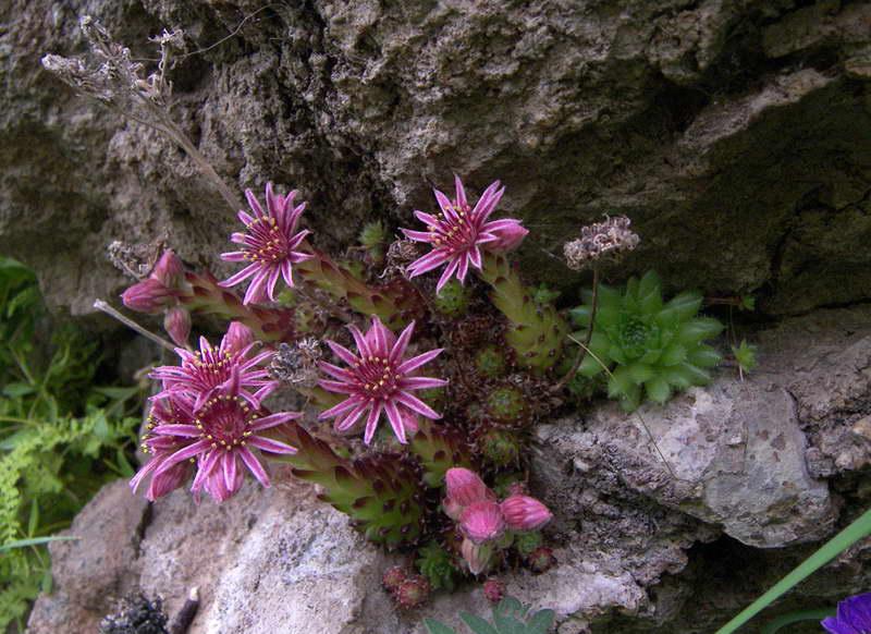 Молодило малорослое или карликовое Sempervivum pumilum фото