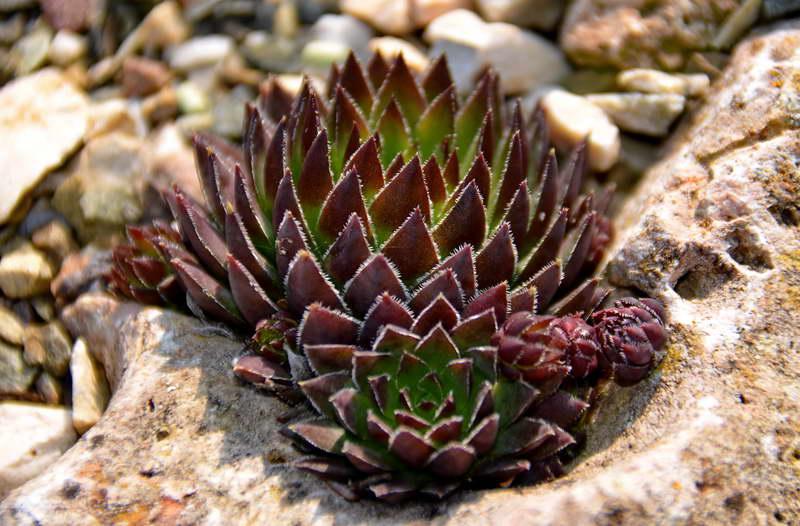 Молодило шароносное Sempervivum globiferum фото