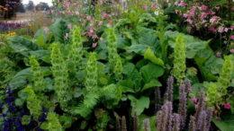 Молюцелла в дизайне сада фото Молюцелла гладкая выращивание из семян