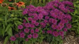 Монарда фото цветов рассада когда сажать семенами