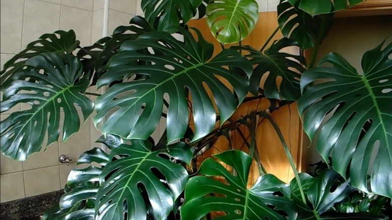 растение монстера размножение