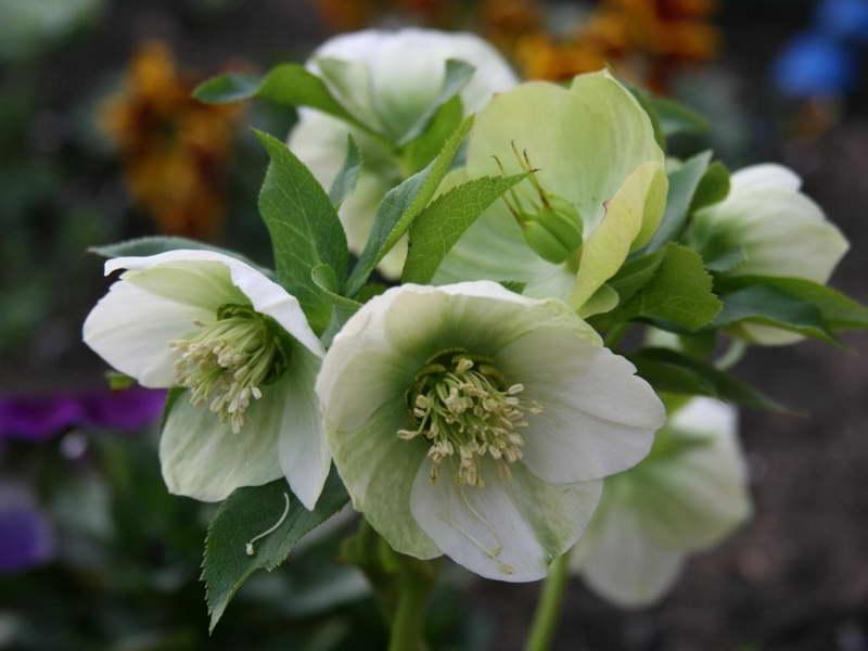 Морозник кавказский посадка и уход выращивание из семян Helleborus caucasicus фото