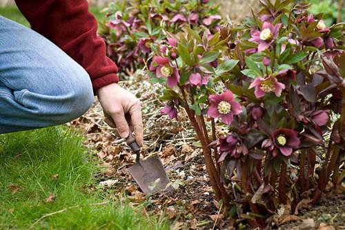 Морозник многолетний цветок выращивание и уход в открытом грунте фото