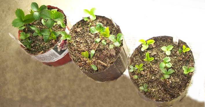 Морозник посадка семенами Рассада морозника фото