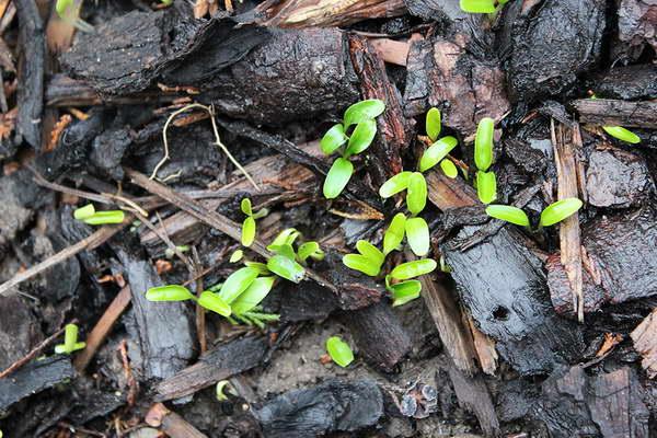 Морозник размножение семенами Морозник выращивание из семян в открытом грунте фото
