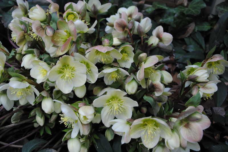 Морозник цветок уход Цветок морозник посадка Когда пересаживать морозник фото