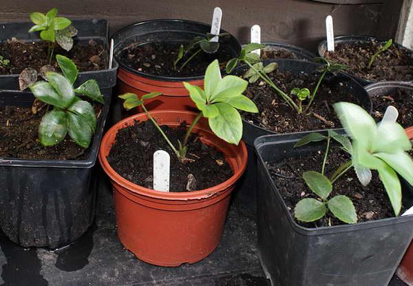 Морозник в саду посадка Агротехника выращивания фото рассады