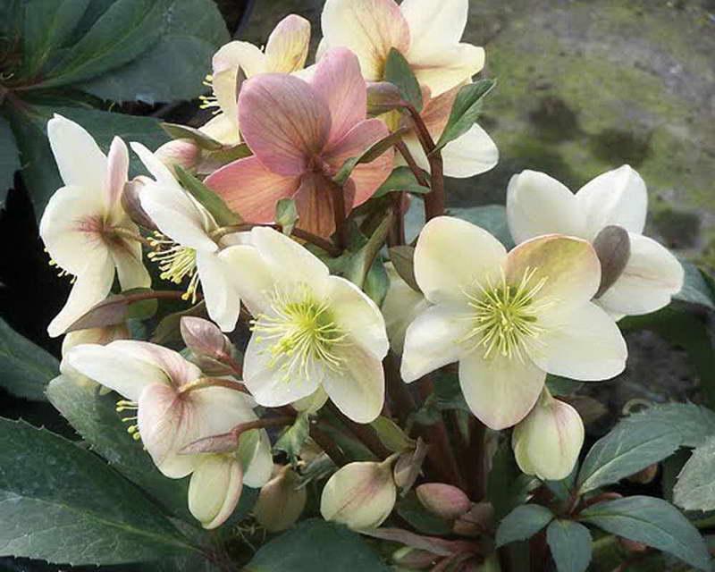 Морозник виды и сорта фото helleborus x ericsmithii candy love Морозник краснеющий