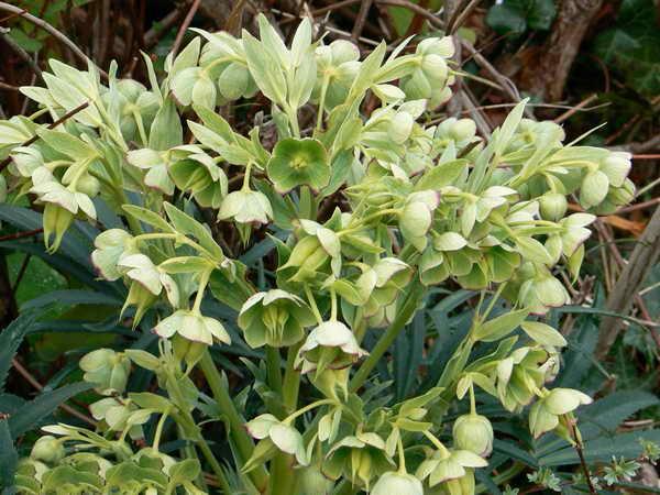 Морозник зеленый садовый цветок как выращивать Helleborus foetidus фото