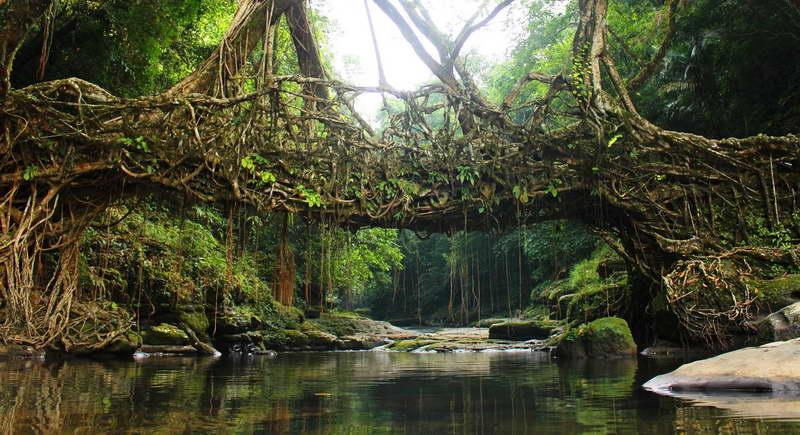 Мост из воздушных корней фикуса каучуконосного фото
