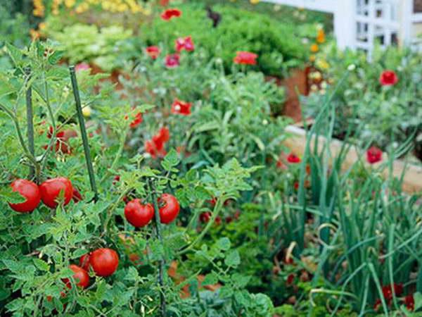 Можно ли сажать помидоры после лука в следующем году