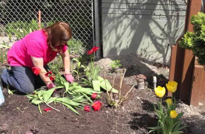 Можно ли сажать тюльпаны после цветения весной фото