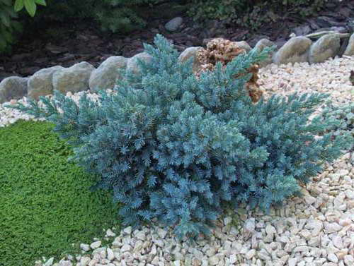 Можжевельник Блю Стар Juniperus squamata Blue Star фото