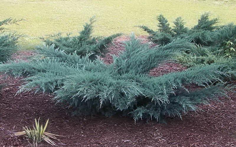 Можжевельник Грей Оул Juniperus Grey Owl фото