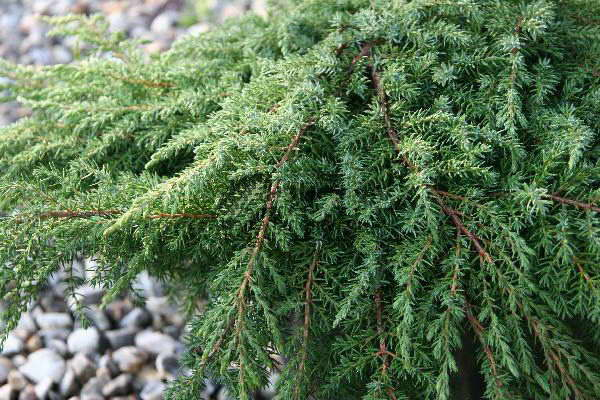 Можжевельник Грин Карпет Juniperus communis Green Carpet фото в саду