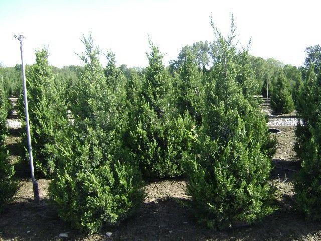Можжевельник Колумнарис Juniperus Columnaris фото