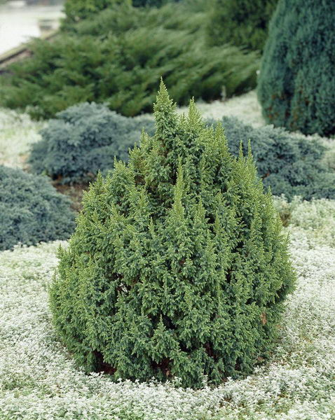 Можжевельник Лодери Juniperus squamata 'Loderi' фото