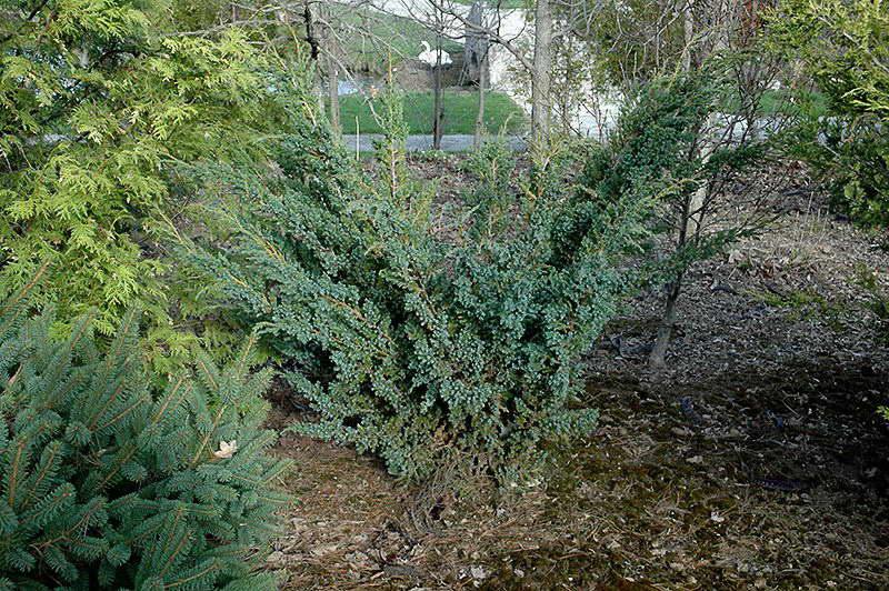 Можжевельник Мейери Juniperus squamata Meyeri фото в саду