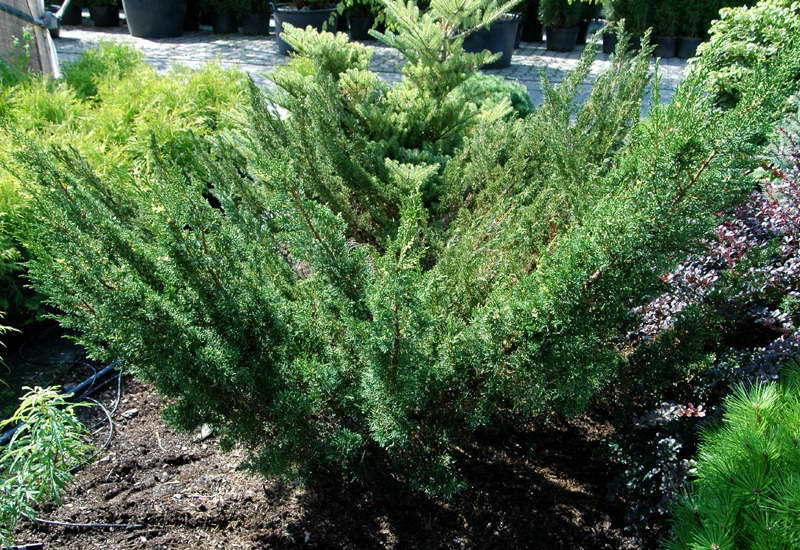 Можжевельник Плюмоза (Андорра Юпитер) Juniperus chinensis Plumosa фото