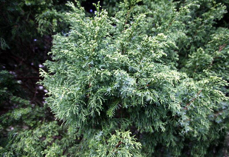 Можжевельник Японика Juniperus chinensis Japonica фото