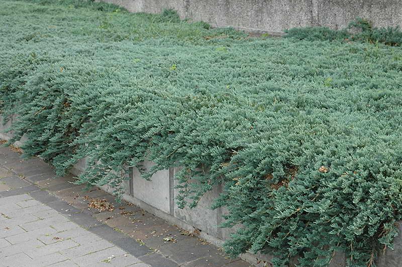 Можжевельник горизонтальный Juniperus horizontalis Montana фото
