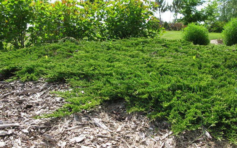 Можжевельник горизонтальный Принс оф Уэльс Juniperus horizontalis 'Prince of Wales' фото