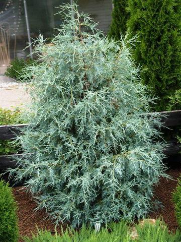 Можжевельник скальный Juniperus scopulorum Springbank