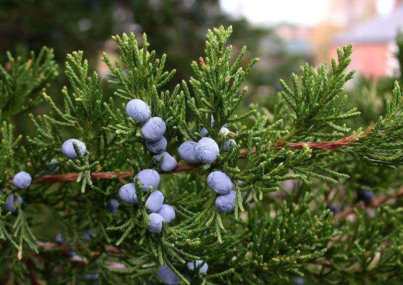 Можжевельник виргинский Juniperus virginiana, или «карандашное дерево»