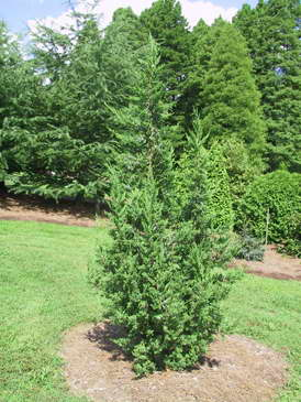 Можжевельник японский Олимпия Juniperus chinensis 'Olympia' фото