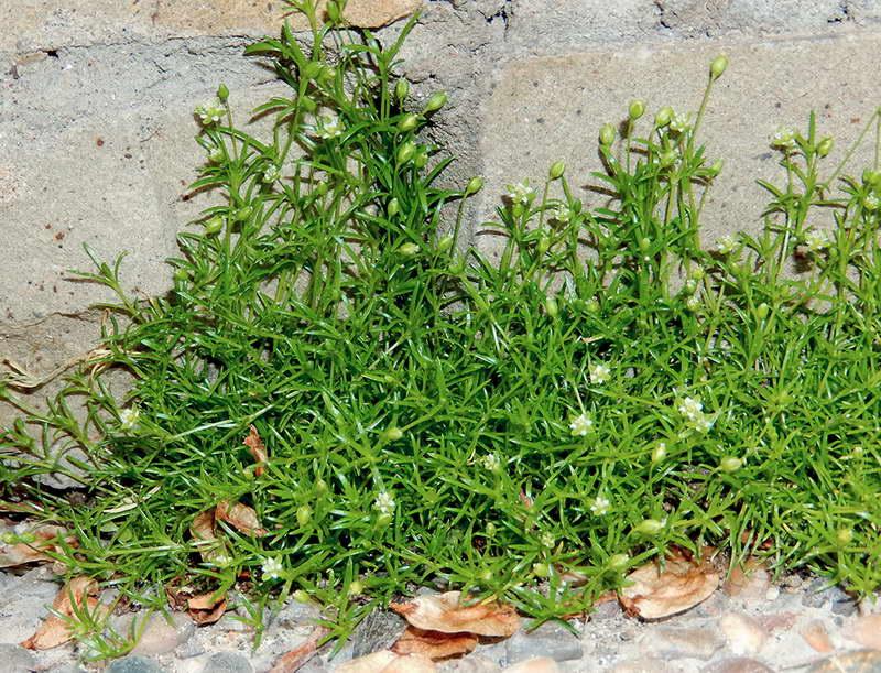 Мшанка лежачая Sagina procumbens фото
