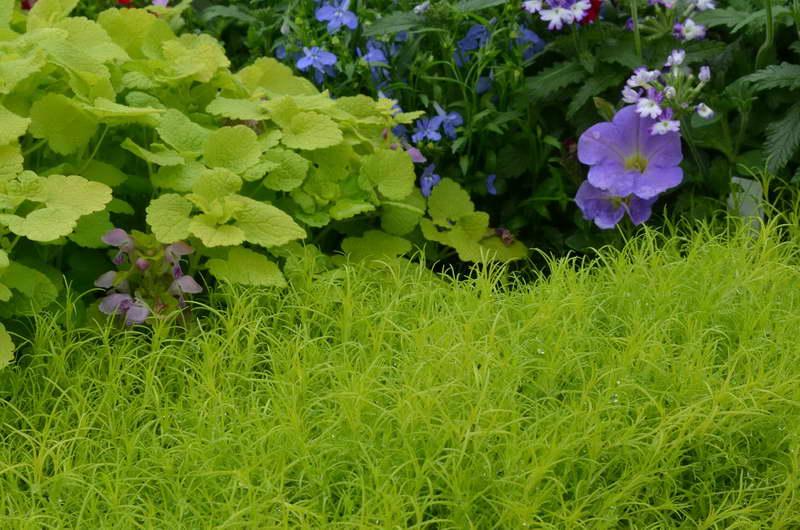 Мшанка шиловидная Ауреа Sagina Subulata Aurea фото в саду