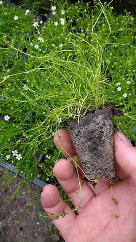 Мшанка шиловидная из семян фото рассады