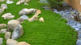 Мшанка шиловидная в ландшафтном дизайне фото