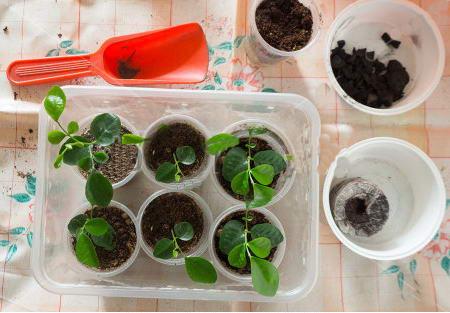 Мурайя из семян в домашних условиях фото рассады