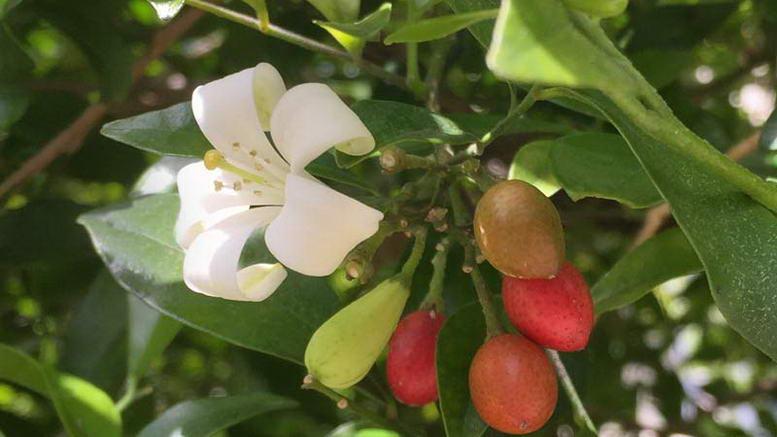 Мурайя в домашних условиях посадка и уход Выращивание мурайи из семян