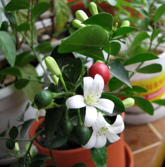 Муррайя карликовая фото Выращивание и уход в домашних условиях