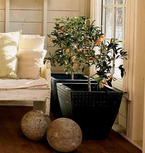 Мушмула японская в домашних условиях фото дерева