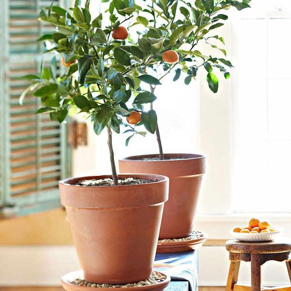 Мушмула японская выращивание в домашних условиях уход и размножение