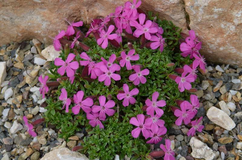 Мыльнянка Оливана Saponaria x olivana 'Bressingham Pink' фото