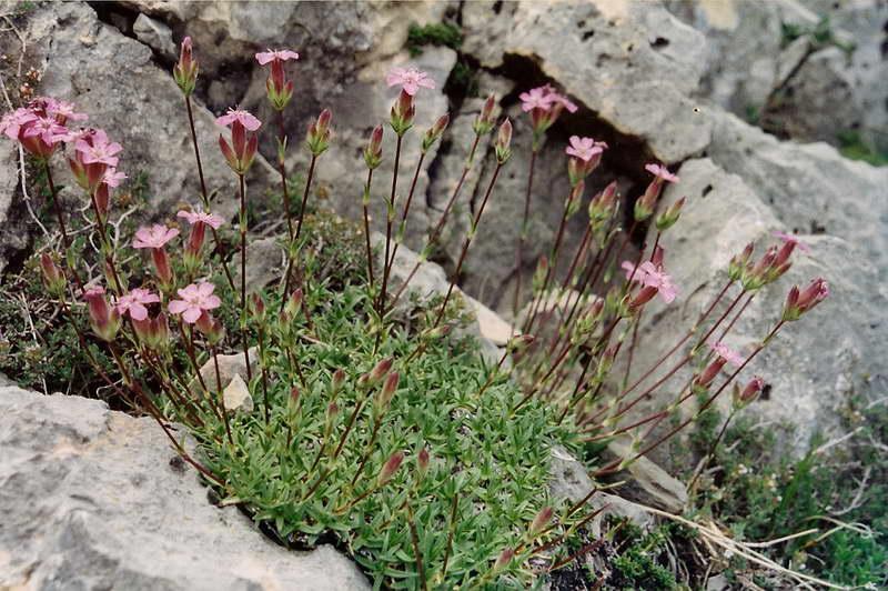 Мыльнянка дернистая Saponaria caespitosa фото