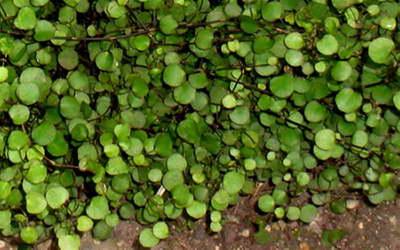 Мюленбекия нана Muehlenbeckia axillaris Nana фото