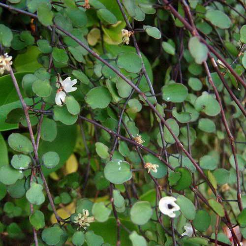 Мюленбекия спутанная Muehlenbeckia complexa фото цветения