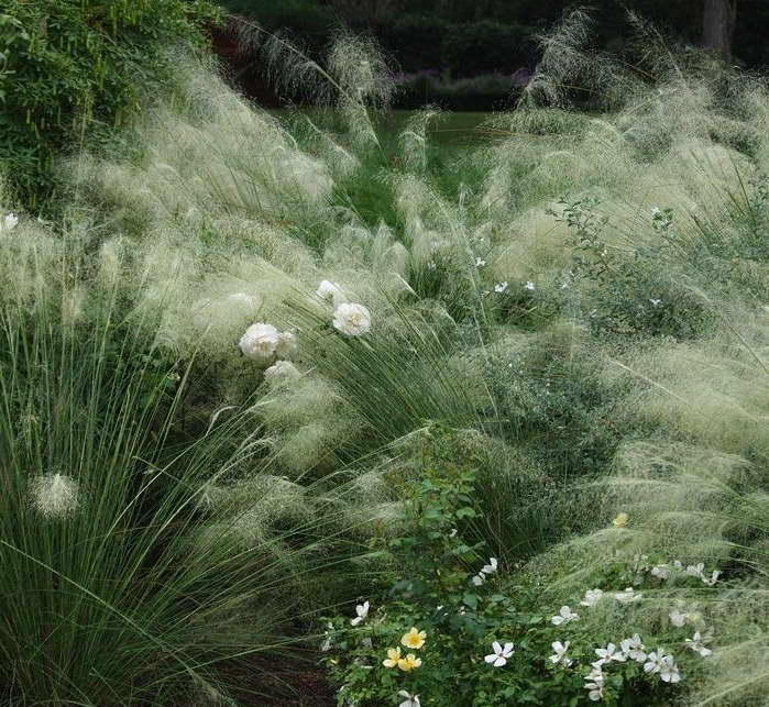 Мюленбергия в миксбордере Muhlenbergia capillaris 'White Cloud' фото