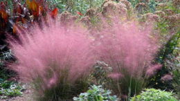 Мюленбергия волосовидная выращивание и уход в открытом грунте фото